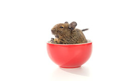 Degu in red cup Stock Image