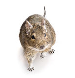 Degu rodent Royalty Free Stock Images