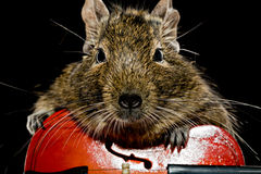 Degu rodent musician Royalty Free Stock Images