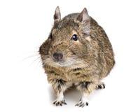 Degu rodent Stock Image