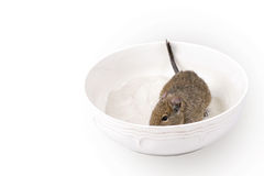 Degu during the sandy bath Stock Images