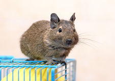 Degu sits on a cage Royalty Free Stock Photography
