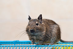 Degu sits on a cage Royalty Free Stock Photos