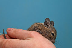 Degu sitting in a hand Royalty Free Stock Images