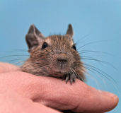 Degu sitting in a hand Stock Photos