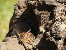 Degu sleeping Royalty Free Stock Image