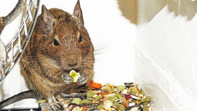 Degu. Royalty Free Stock Images