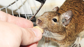 Degu. Royalty Free Stock Photos
