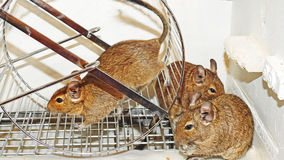 Degu. Stock Photo