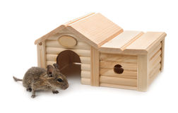 Degu beside small wooden pet house. Isolated on white Stock Photo