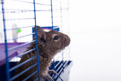 Degu squirrel in his cage Royalty Free Stock Image