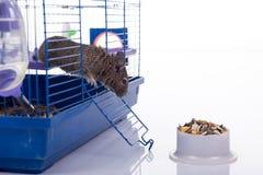 Degu squirrel Stock Photos