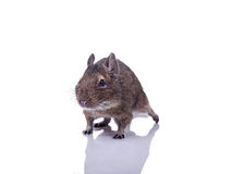 Degu squirrel pet with reflection. Degu pet close up isolated on white Royalty Free Stock Photography