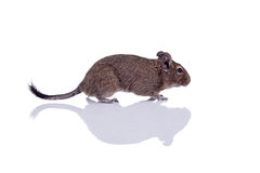 Degu squirrel pet with reflection. Degu pet closeup isolated on white Stock Photography