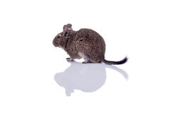 Degu squirrel pet with reflection. Degu squirrel pet closeup isolated on white Royalty Free Stock Images