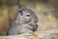 Degu in the woods Royalty Free Stock Photo