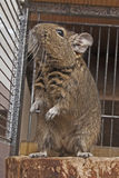 Degus Stock Photo