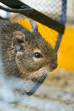 Degus in a wheel Stock Photography