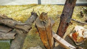 Degus. In a zoo Stock Photos