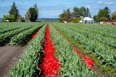 Deheaded rode bloembloemblaadjes van tulpen staan bollen toe om te versterken royalty-vrije stock foto