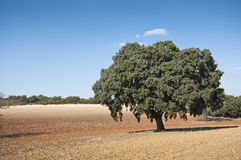 Dehesa in an agricultural landscape Stock Photography