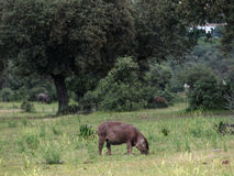 dehesa baleronu świnie Zdjęcie Stock