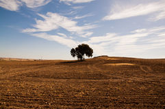 Dehesa en Extremadura. A lonely beyota tree in the middle of the Dehesa in Extremadura, Spain Royalty Free Stock Image