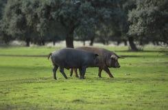 Dehesa在Extremadura 2 免版税图库摄影