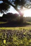 Dehesa ground full of fallen acorns Stock Photography