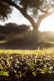 Dehesa ground full of fallen acorns Stock Image
