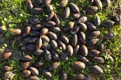 Dehesa ground full of fallen acorns Stock Images