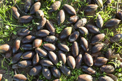 Dehesa ground full of fallen acorns Stock Photos