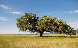 Dehesa landscape Royalty Free Stock Images