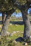 Dehesa medelhavs- skog Arkivbilder