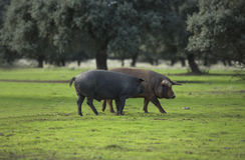 Dehesa w Extremadura 2 Fotografia Royalty Free