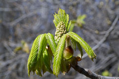 Dehiscing on horse-chestnut bud Stock Images