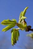 Dehiscing on horse-chestnut bud Stock Image