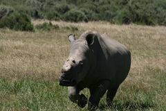 Dehorned female Rhino Stock Image