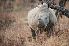 Dehorned noshörning Sydafrika royaltyfri foto