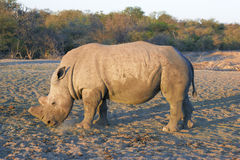 Dehorned rhino side view Stock Image