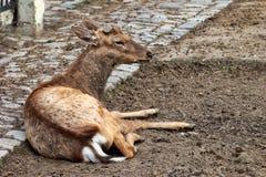 Dehorned sika deer (Cervus nippon).  Royalty Free Stock Image