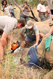 Dehorning of large rhino after been darted and stabilized Stock Photos