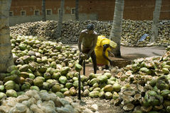 Dehusking coconut Stock Image