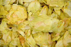 Dehydrated Hops. Dehydrated hop leaves cones Centennial Royalty Free Stock Photo