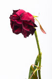 Dehydrated red rose on a white background Stock Images