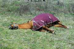 Dehydrated Tired Horse Royalty Free Stock Photos