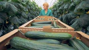` Dei cetrioli che raccoglie processo effettuato in una serra Concetto sano di produzione dei prodotti archivi video