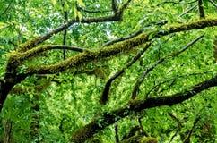 Dei i rami coperti di muschio degli alberi dopo la pioggia nell'alta umidità della foresta Priorità bassa della natura Fotografia Stock Libera da Diritti