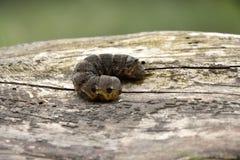 Deilephila elpenor -在木头的大毛虫 免版税库存照片