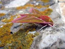 Deilephila elpenor 库存照片